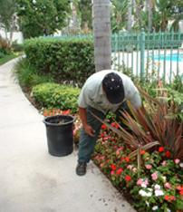 a tech plants a new piece of verigated grass in a walkway